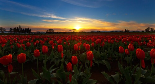 oregon woodburn tulipfarm