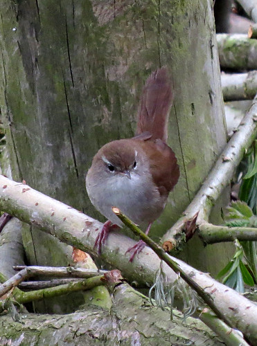Cetti's Warbler Cettia cetti Tophill Low NR, East Yorkshire April 2016
