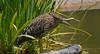Huairavo , Black-crowned night heron by Pabloskino