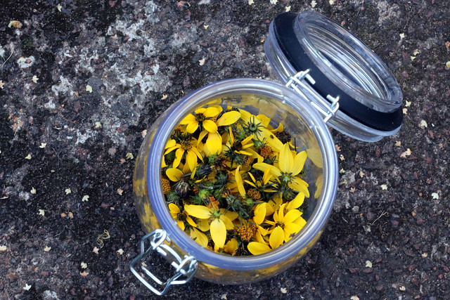 Solar Natural Dyeing with Biden Flowers
