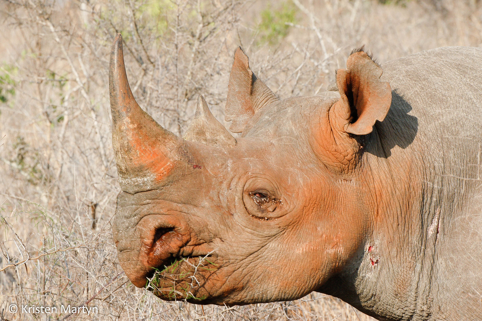 Black Rhinoceros (Diceros bicornis minor)