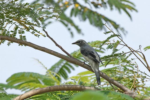 Photo:黑翅山椒 Black-winged Cuckoo-shrike By Hiyashi Haka