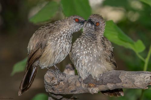 nikon flash botswana nata birdwatchers arrowmarkedbabbler natalodge turdoidesjardineii allogrooming d7100