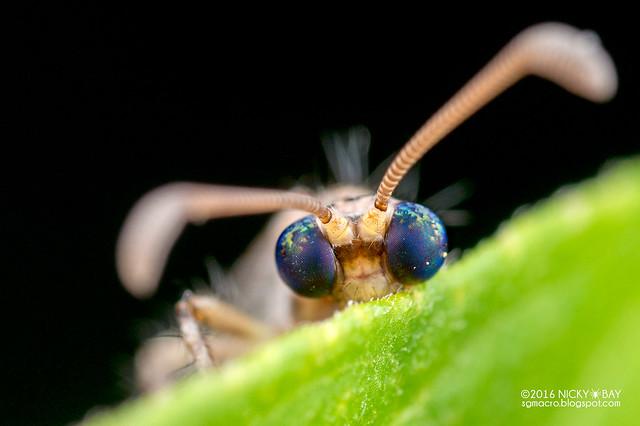 Antlion (Myrmeleontidae) - DSC_1631
