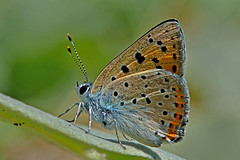 Lycaena alciphron - the Purple-shot Copper (male)