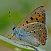 Lycaena alciphron - the Purple-shot Copper (male) by BugsAlive