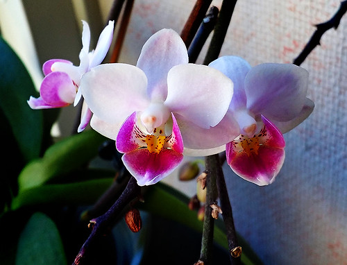 16. Orkidé ( 219 av 365 )