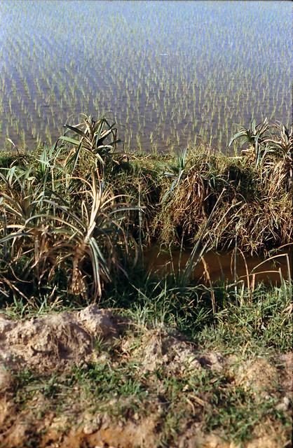 Vietnam 1969-70 by Robin Benton - New rice