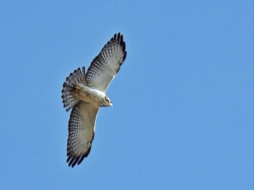 Short-tailed hawk 2-20160222