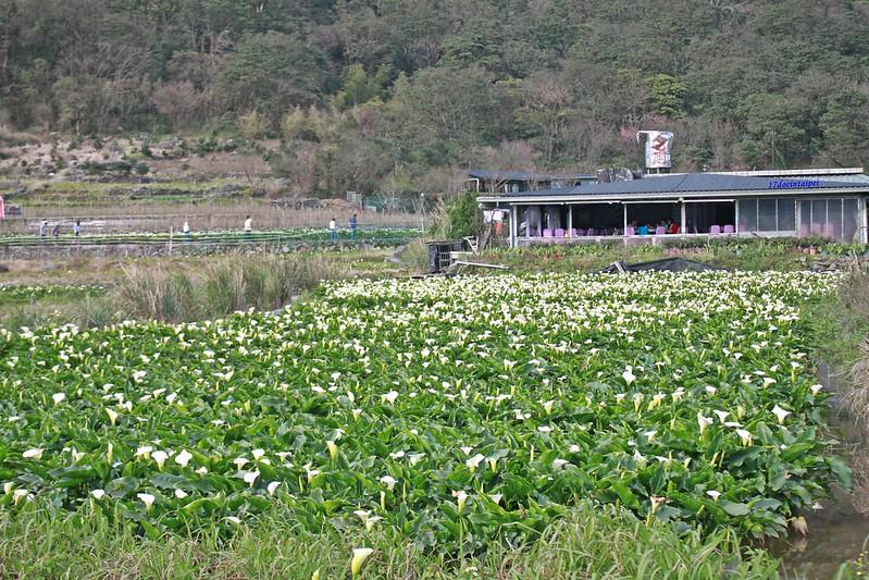 竹子湖採海芋-17度C隨拍 (13)
