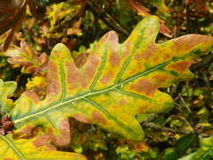 English oak (Quercus robur) leaf with tiny insect