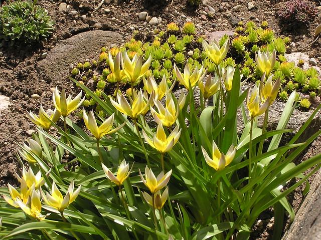Sempervivum 'Goldsternschen' & Tulipa tarda