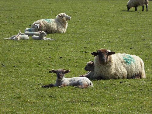Lambs and mothers