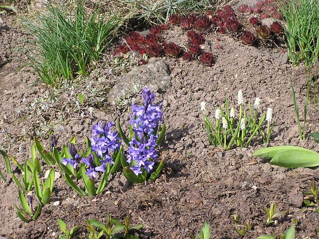 Hyacinthus orientalis 'Atlantis' & Muscari 'White Magic'