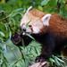 Hungry Red Panda