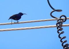 Purple sunbird (m)