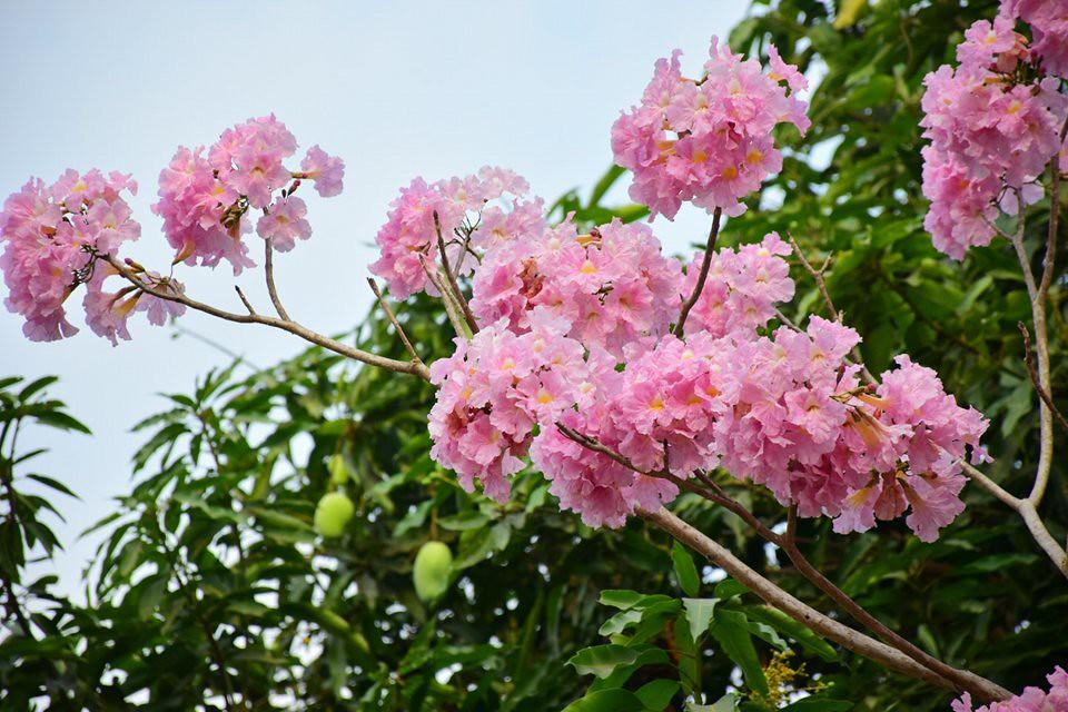Tabebuia rosea (12)