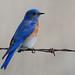 Bluebird by dane.dawg