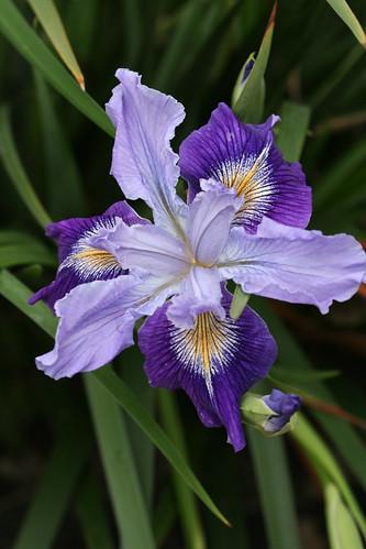 Iris douglasiana purple