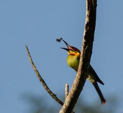 Merops leschenaulti leschenaulti, Chestnut-headed Bee-eater