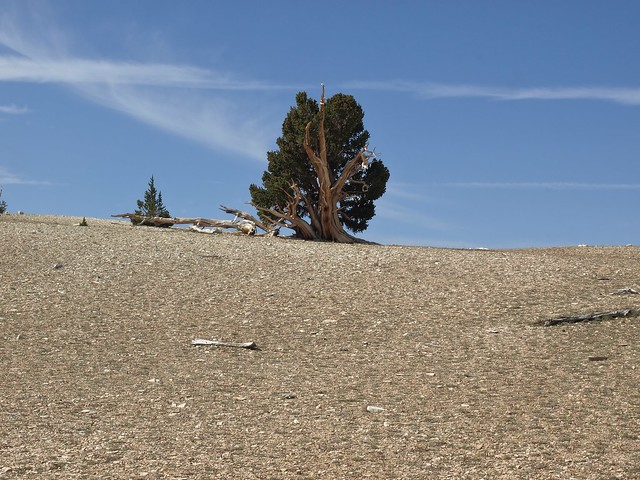 The old and the new: ancient bristlecone pine, Pinus longaeva