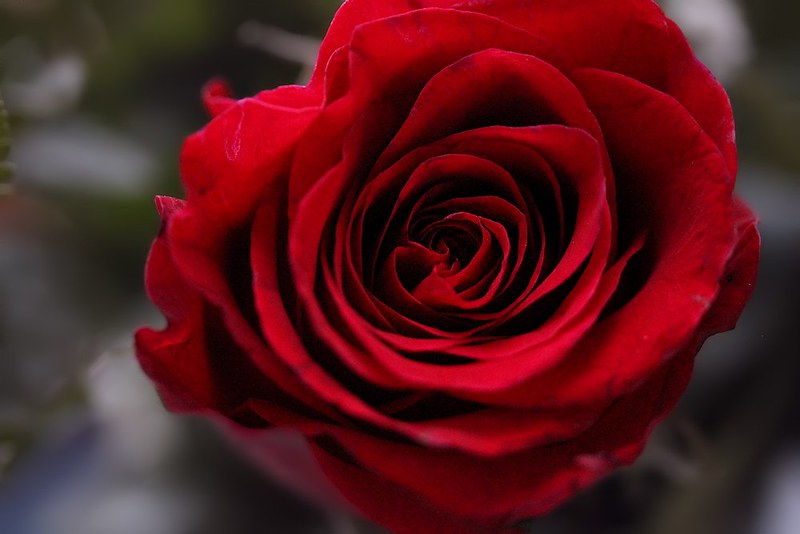 Project 366, Day 86: Roses Are Red