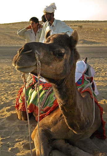 A camel in the Thar desert just outside of Jaisalmer, India