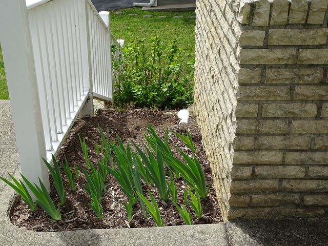 Iris bed #2 with hydrangea