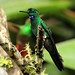 Green-crowned Brilliant by ann.morrison75