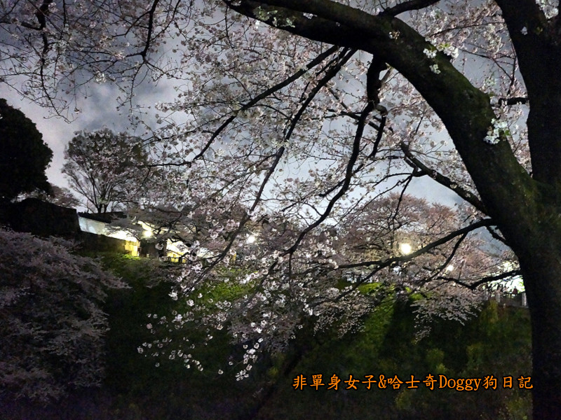 日本東京北之丸公園千鳥之淵賞夜櫻花03
