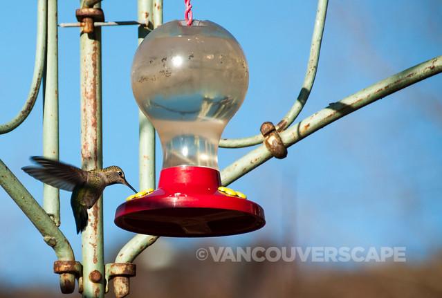 Brookside Inn/Anna's Hummingbird