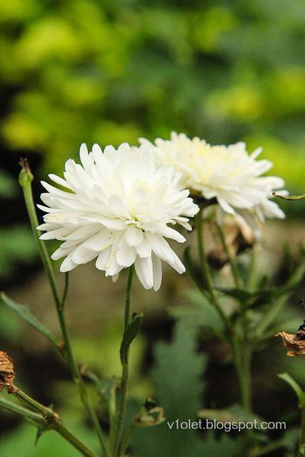 Carolina21 seruni putih-0844rw