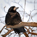 Winter rook by hedera.baltica