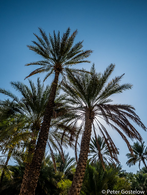 Date palms at Wadi Bani Khalid