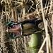 wood duck hiding by kkdemien