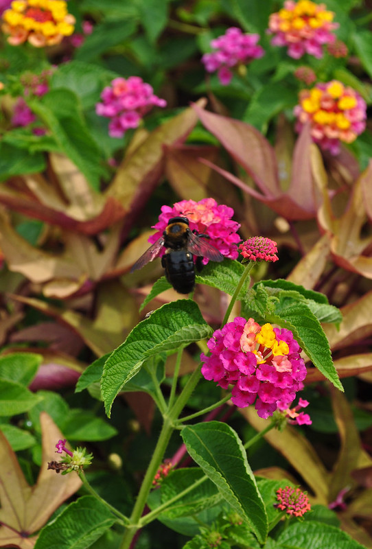 Baker Hall Fountain Bed - Lantana 'Landmark Sunrise Rose' (1)