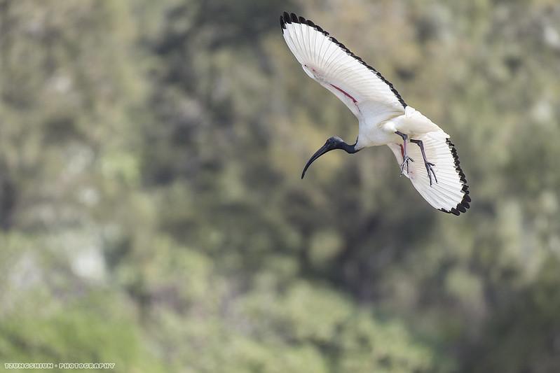 埃及聖䴉 Threskiornis aethiopicus@鰲鼓溼地