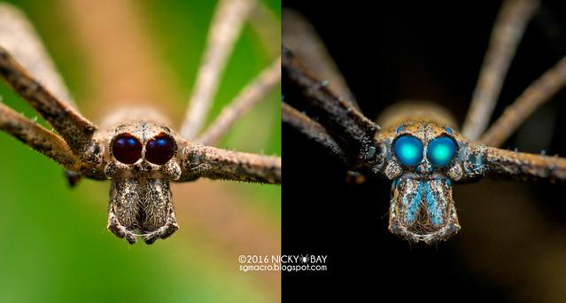 Ogre-Face Spider (Deinopis sp.) - Deinopis_DSC_8273