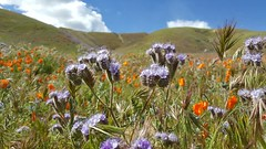 The hills are alive #flowers #wildflowers #poppies