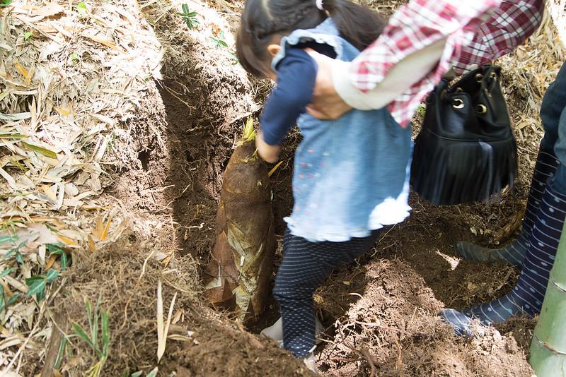 タケノコ掘り-23