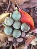 Elaeocarpus bancroftii