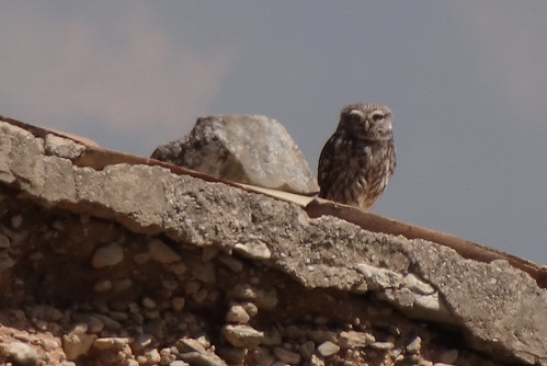 little owl Catalonia