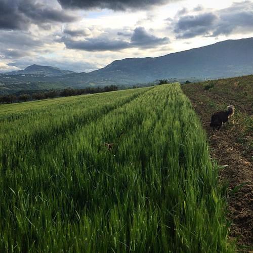 #abruzzo #wheat #grano #frumento #clouds