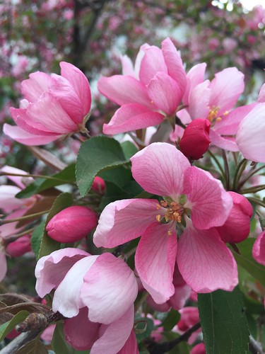 Blossoms Full (SOTC 195/365)