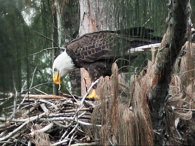 Bald Eagle male feeding nestling 2-20160119
