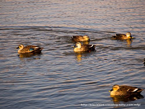 Duck #03