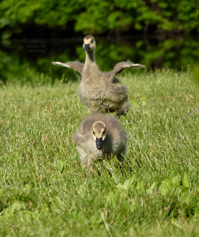 Young Geese Running