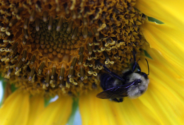 bumblebee hanging upside-down from the lower right side of a disk floret