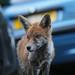 Young Urban fox, Bristol, Ian Wade by Disorganised Photographer - Ian Wade - Travel, Wil