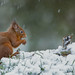 Red Squirrel - Undaunted by crittersnapper